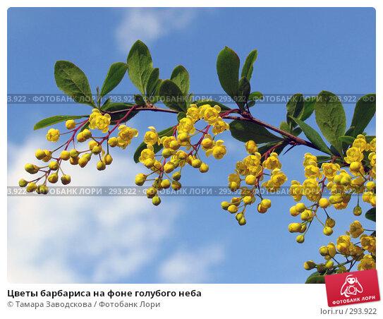 Цветы барбариса на фоне голубого неба, эксклюзивное фото № 293922, снято 18 мая 2008 г. (c) Тамара Заводскова / Фотобанк Лори