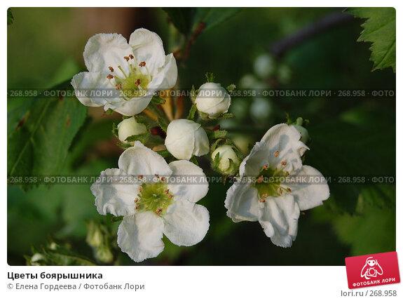 Цветы боярышника, фото № 268958, снято 1 мая 2008 г. (c) Елена Гордеева / Фотобанк Лори