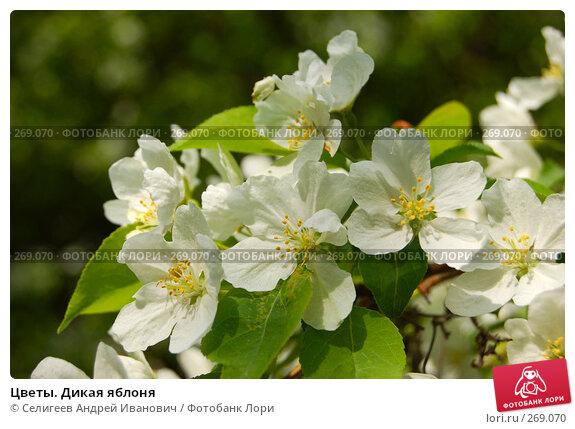 Цветы. Дикая яблоня, фото № 269070, снято 2 июня 2006 г. (c) Селигеев Андрей Иванович / Фотобанк Лори