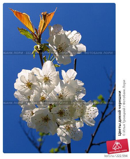 Цветы дикой черешни, фото № 222594, снято 26 апреля 2005 г. (c) Илья Троицкий / Фотобанк Лори