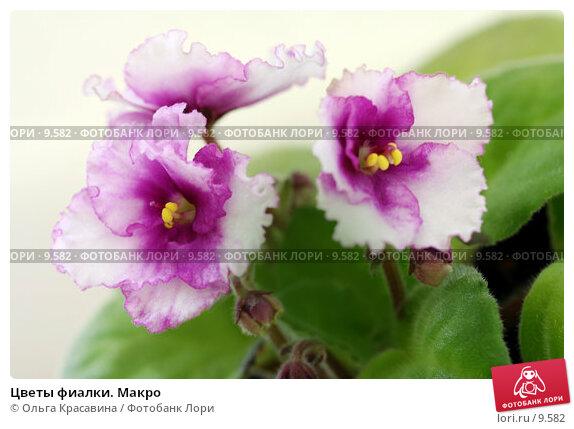 Купить «Цветы фиалки. Макро », фото № 9582, снято 15 июня 2006 г. (c) Ольга Красавина / Фотобанк Лори