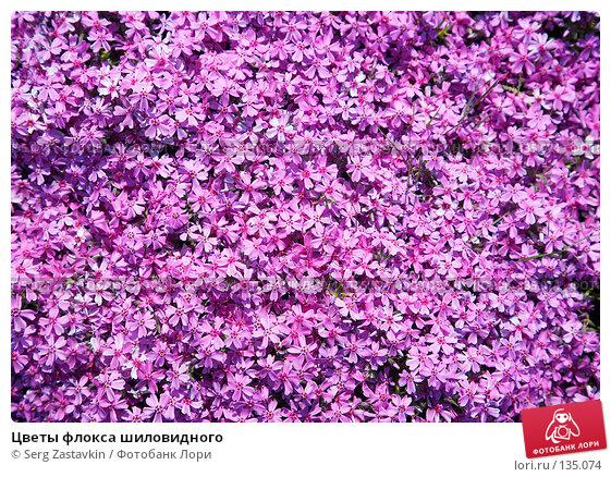 Цветы флокса шиловидного, фото № 135074, снято 5 июня 2006 г. (c) Serg Zastavkin / Фотобанк Лори