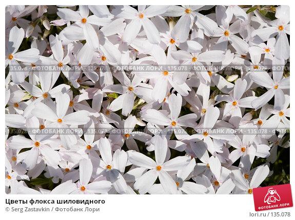 Купить «Цветы флокса шиловидного», фото № 135078, снято 8 июня 2006 г. (c) Serg Zastavkin / Фотобанк Лори