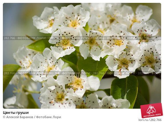 Цветы груши, фото № 282766, снято 10 мая 2008 г. (c) Алексей Баранов / Фотобанк Лори