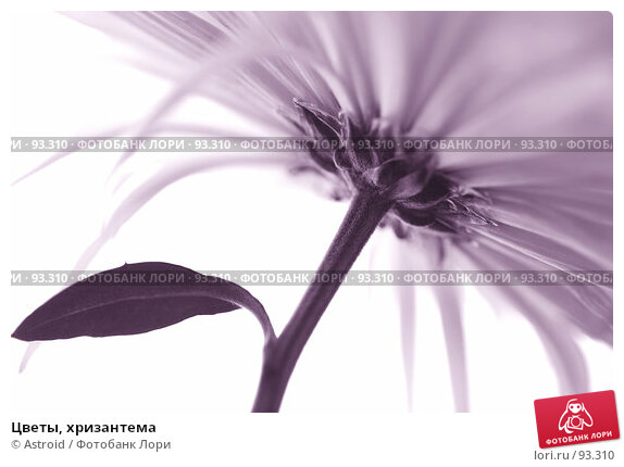 Цветы, хризантема, фото № 93310, снято 23 февраля 2007 г. (c) Astroid / Фотобанк Лори