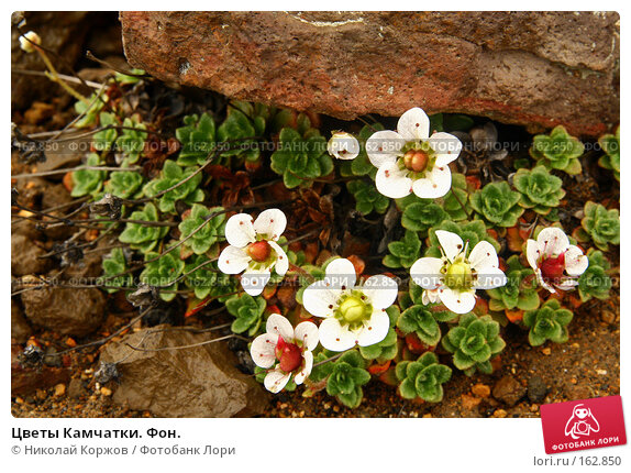 Цветы Камчатки. Фон., фото № 162850, снято 27 июня 2007 г. (c) Николай Коржов / Фотобанк Лори