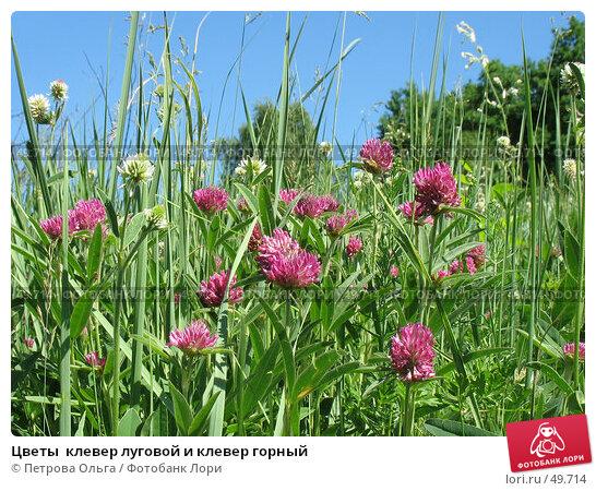 Цветы  клевер луговой и клевер горный, фото № 49714, снято 3 июня 2007 г. (c) Петрова Ольга / Фотобанк Лори