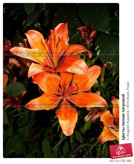 Цветы лилии тигровой, фото № 56166, снято 23 июня 2007 г. (c) Андрей Жданов / Фотобанк Лори