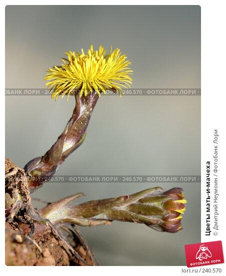 Цветы мать-и-мачеха, эксклюзивное фото № 240570, снято 11 апреля 2004 г. (c) Дмитрий Неумоин / Фотобанк Лори