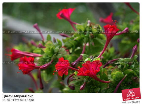 Цветы Мирабилис, фото № 80622, снято 26 августа 2007 г. (c) Fro / Фотобанк Лори