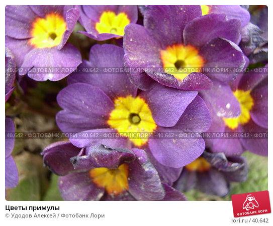Цветы примулы, фото № 40642, снято 18 апреля 2007 г. (c) Удодов Алексей / Фотобанк Лори