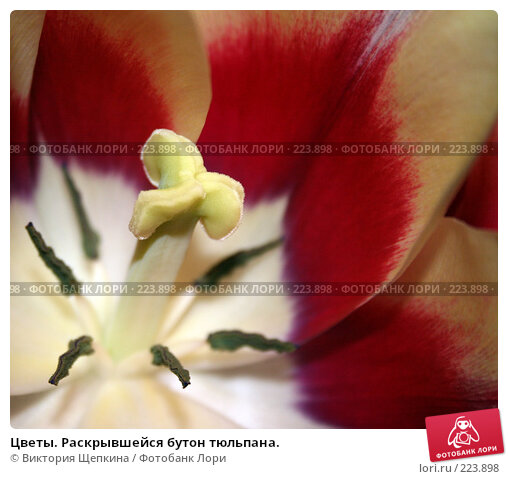 Цветы. Раскрывшейся бутон тюльпана., фото № 223898, снято 11 марта 2008 г. (c) Виктория Щепкина / Фотобанк Лори