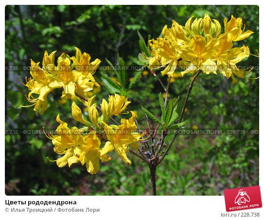 Цветы рододендрона, фото № 228738, снято 10 мая 2007 г. (c) Илья Троицкий / Фотобанк Лори