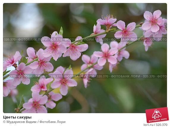 Цветы сакуры, фото № 320370, снято 12 марта 2008 г. (c) Мударисов Вадим / Фотобанк Лори