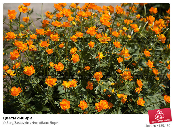 Цветы сибири, фото № 135150, снято 5 июня 2006 г. (c) Serg Zastavkin / Фотобанк Лори