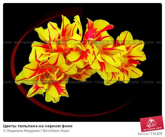 Цветы тюльпана на черном фоне, фото № 118870, снято 22 августа 2017 г. (c) Людмила Жмурина / Фотобанк Лори