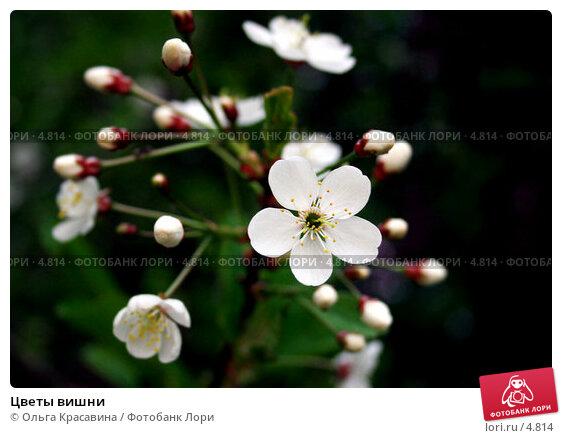 Цветы вишни, фото № 4814, снято 25 мая 2006 г. (c) Ольга Красавина / Фотобанк Лори