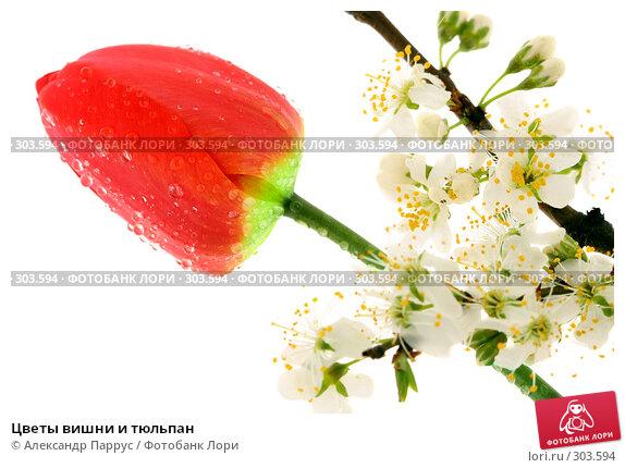 Цветы вишни и тюльпан, фото № 303594, снято 21 апреля 2008 г. (c) Александр Паррус / Фотобанк Лори