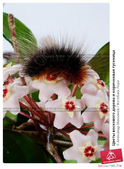 Цветы воскового дерева и коричневая гусеница, фото № 141714, снято 3 июня 2006 г. (c) Александр Максимов / Фотобанк Лори