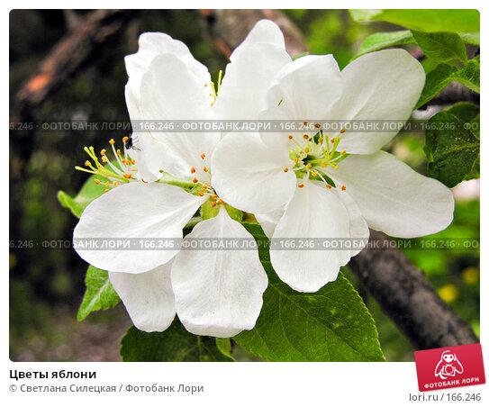 Цветы яблони, фото № 166246, снято 22 мая 2007 г. (c) Светлана Силецкая / Фотобанк Лори