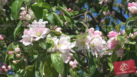 Купить «Цветы яблони крупным планом солнечным майским днем», видеоролик № 27074378, снято 30 мая 2017 г. (c) Виктор Карасев / Фотобанк Лори