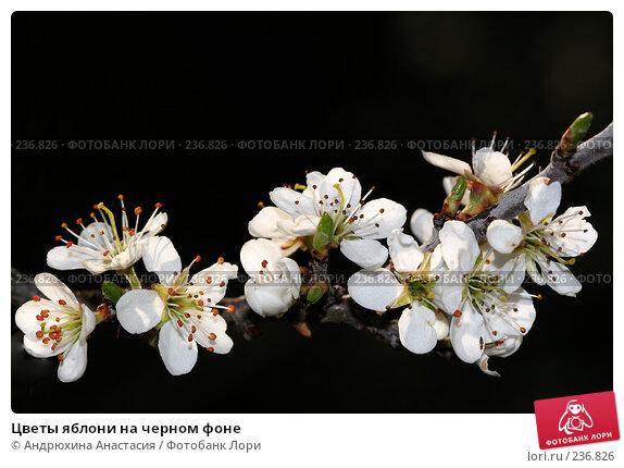 Цветы яблони на черном фоне, фото № 236826, снято 23 апреля 2006 г. (c) Андрюхина Анастасия / Фотобанк Лори