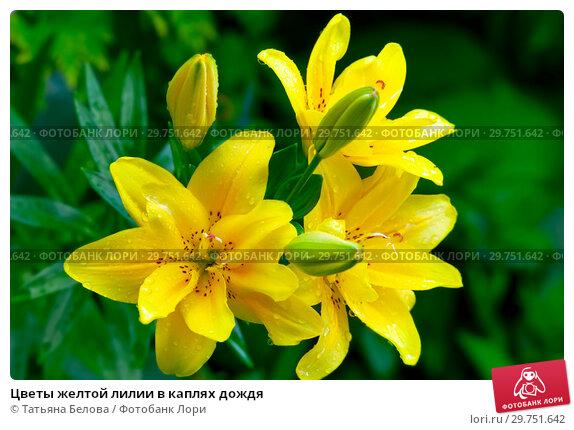 Купить «Цветы желтой лилии в каплях дождя», фото № 29751642, снято 27 июля 2011 г. (c) Татьяна Белова / Фотобанк Лори