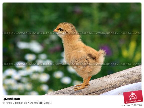 Цыплёнок, фото № 188226, снято 17 марта 2006 г. (c) Игорь Потапов / Фотобанк Лори