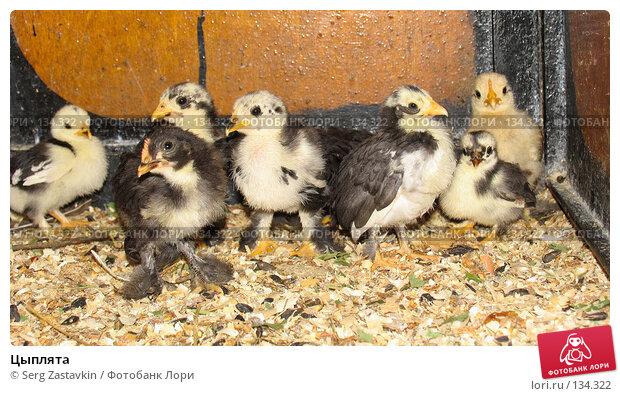 Цыплята, фото № 134322, снято 10 октября 2004 г. (c) Serg Zastavkin / Фотобанк Лори