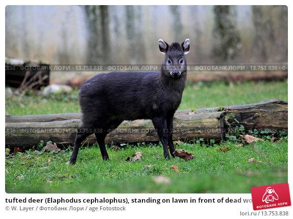 tufted deer (Elaphodus cephalophus), standing on lawn in front of dead wood. Стоковое фото, фотограф W. Layer / age Fotostock / Фотобанк Лори