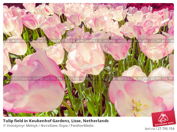 Купить «Tulip field in Keukenhof Gardens, Lisse, Netherlands», фото № 27795154, снято 18 октября 2018 г. (c) PantherMedia / Фотобанк Лори