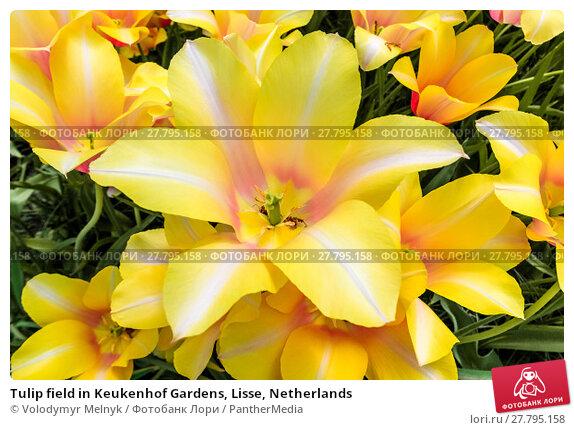 Купить «Tulip field in Keukenhof Gardens, Lisse, Netherlands», фото № 27795158, снято 20 октября 2018 г. (c) PantherMedia / Фотобанк Лори