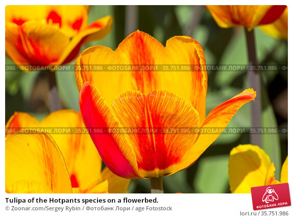 Tulipa of the Hotpants species on a flowerbed. Стоковое фото, фотограф Zoonar.com/Sergey Rybin / age Fotostock / Фотобанк Лори