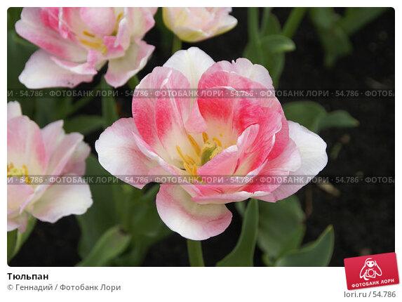 Купить «Тюльпан», фото № 54786, снято 17 мая 2007 г. (c) Геннадий / Фотобанк Лори
