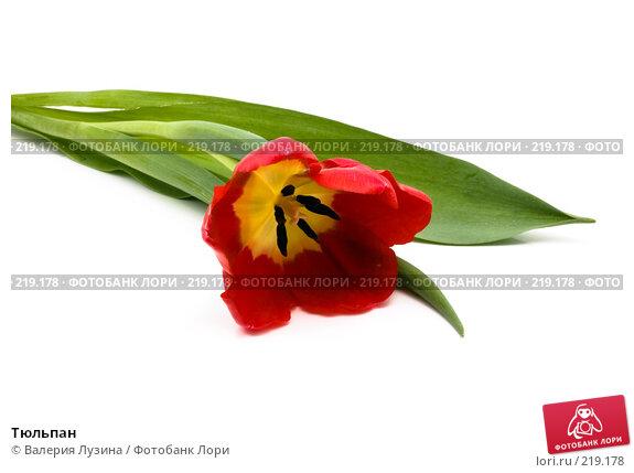 Тюльпан, фото № 219178, снято 1 марта 2008 г. (c) Валерия Потапова / Фотобанк Лори