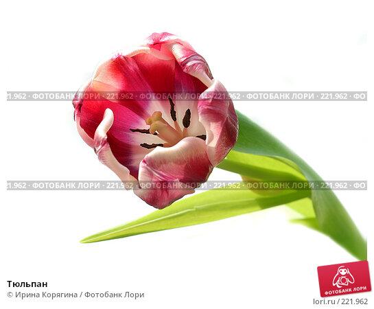 Тюльпан, фото № 221962, снято 10 марта 2008 г. (c) Ирина Корягина / Фотобанк Лори
