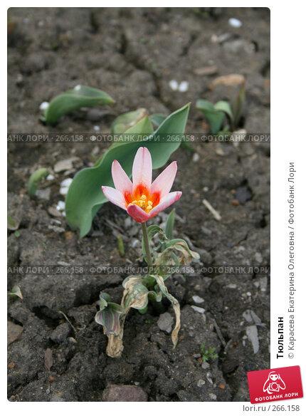 Тюльпан, фото № 266158, снято 27 апреля 2008 г. (c) Карасева Екатерина Олеговна / Фотобанк Лори