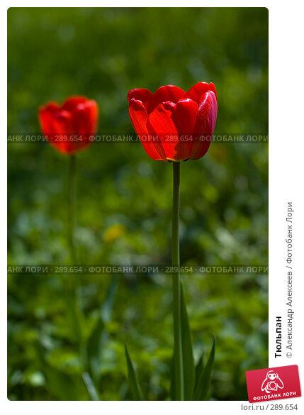 Тюльпан, эксклюзивное фото № 289654, снято 17 мая 2008 г. (c) Александр Алексеев / Фотобанк Лори