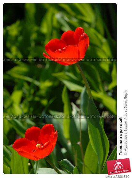 Купить «Тюльпан красный», фото № 288510, снято 17 мая 2008 г. (c) Мударисов Вадим / Фотобанк Лори