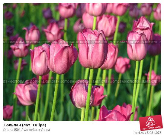 Тюльпан (лат. Tulipa) Стоковое фото, фотограф lana1501 / Фотобанк Лори