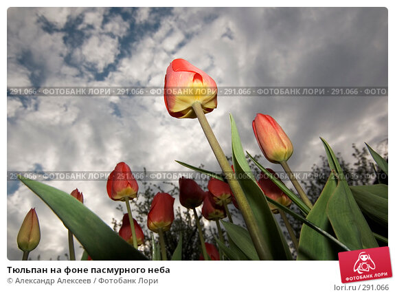 Купить «Тюльпан на фоне пасмурного неба», эксклюзивное фото № 291066, снято 19 мая 2007 г. (c) Александр Алексеев / Фотобанк Лори