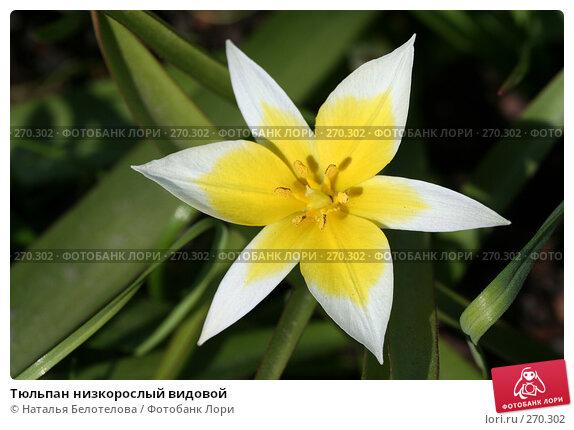 Тюльпан низкорослый видовой, фото № 270302, снято 2 мая 2008 г. (c) Наталья Белотелова / Фотобанк Лори