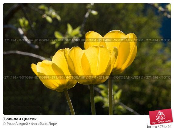 Купить «Тюльпан цветок», фото № 271494, снято 3 мая 2008 г. (c) Розе Андрей / Фотобанк Лори
