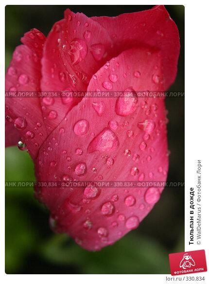 Тюльпан в дожде, фото № 330834, снято 10 мая 2008 г. (c) WalDeMarus / Фотобанк Лори