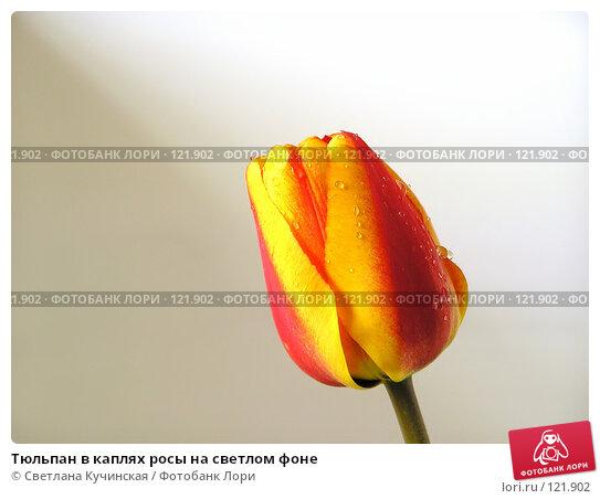 Тюльпан в каплях росы на светлом фоне, фото № 121902, снято 24 марта 2017 г. (c) Светлана Кучинская / Фотобанк Лори