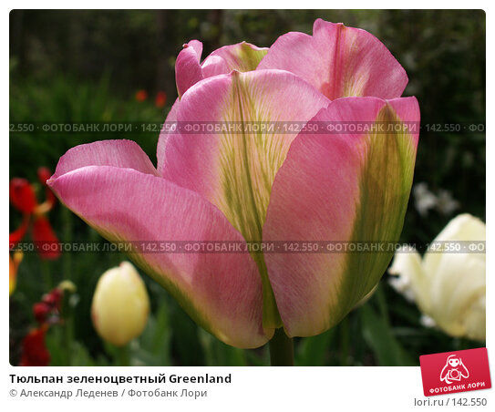 Тюльпан зеленоцветный Greenland, фото № 142550, снято 22 мая 2006 г. (c) Александр Леденев / Фотобанк Лори