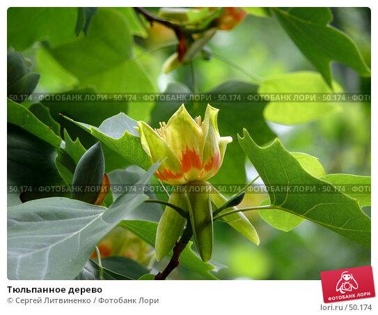 Тюльпанное дерево, фото № 50174, снято 27 мая 2007 г. (c) Сергей Литвиненко / Фотобанк Лори