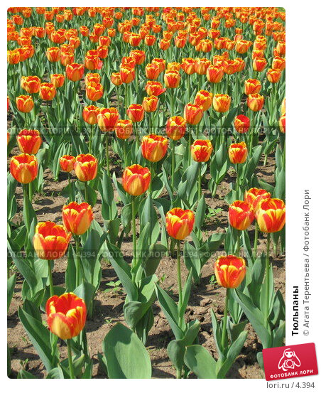 Тюльпаны, фото № 4394, снято 21 мая 2006 г. (c) Агата Терентьева / Фотобанк Лори