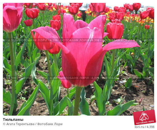 Тюльпаны, фото № 4398, снято 21 мая 2006 г. (c) Агата Терентьева / Фотобанк Лори