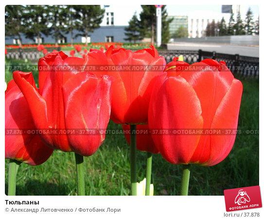 Тюльпаны, фото № 37878, снято 10 декабря 2016 г. (c) Александр Литовченко / Фотобанк Лори